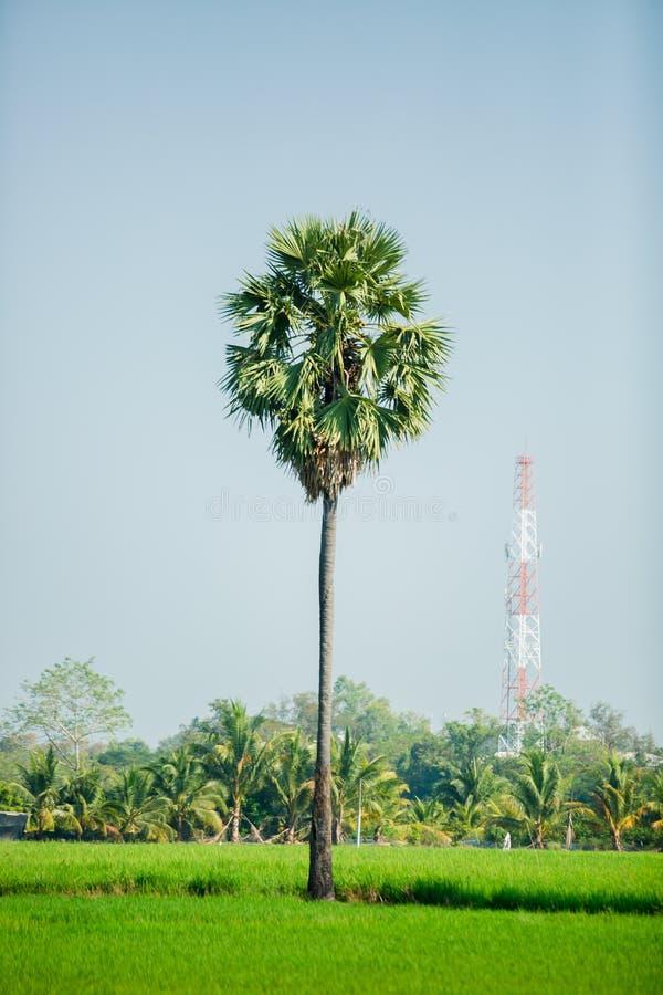 Asiatische Palmyrapalme im grünen Reisfeld, das gerade gepflanzt worden sind lizenzfreies stockfoto