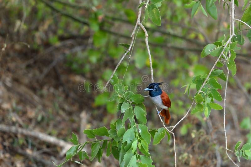 Asiatische Paradiesschnäpper in Sri Lanka stockfoto