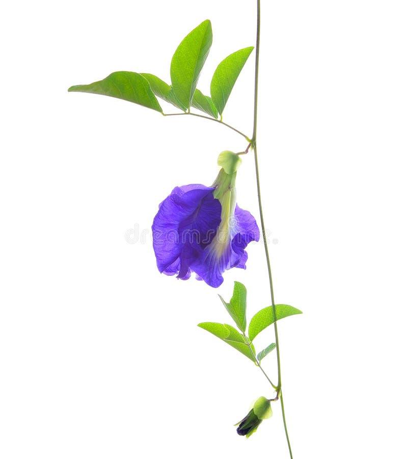 Asiatische pigeonwings Blume lizenzfreies stockbild