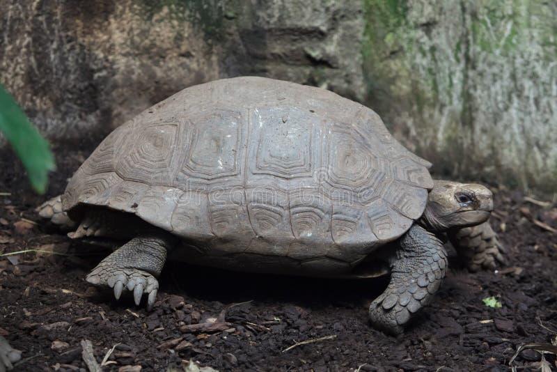 Asiatische riesige Schildkröte Manouria-emys stockfotos