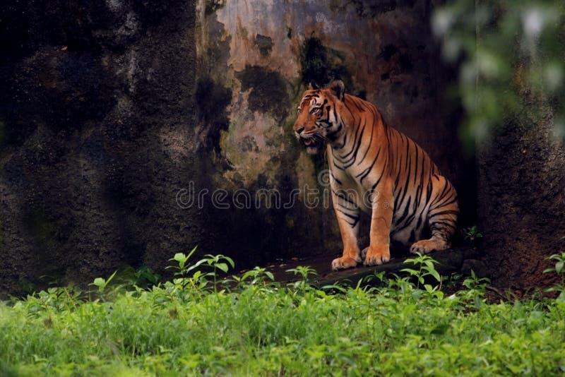 Asiatische Tiger im Zoo lizenzfreie stockbilder