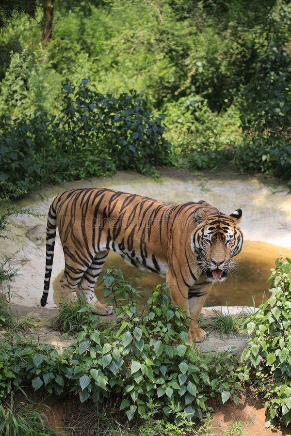Asiatische Tiger unterscheiden sich in ihren Wohnbereichen stockfoto