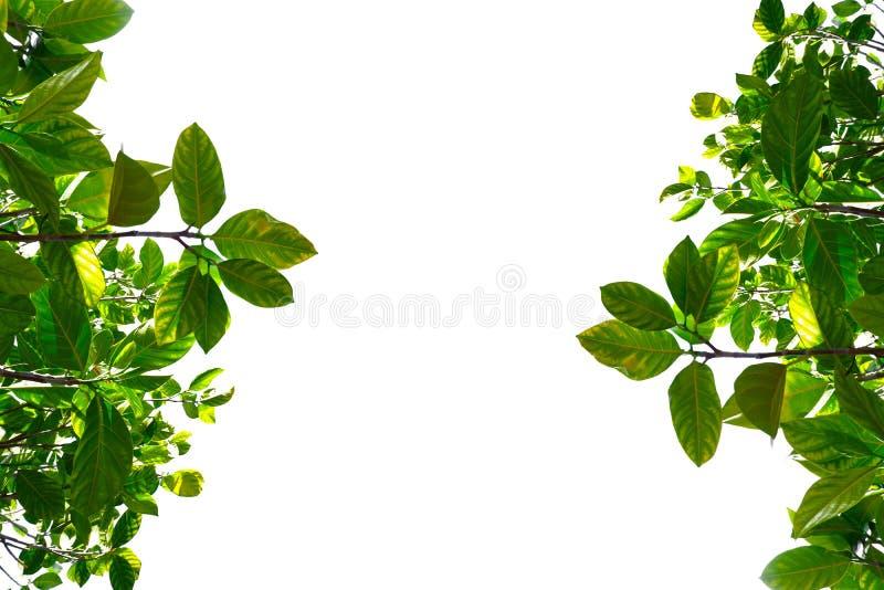 Asiatische tropische grüne Blätter, die auf einem weißen Hintergrund lokalisierten stockfotografie
