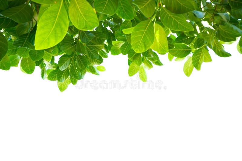 Asiatische tropische grüne Blätter, die auf einem weißen Hintergrund lokalisierten lizenzfreies stockbild