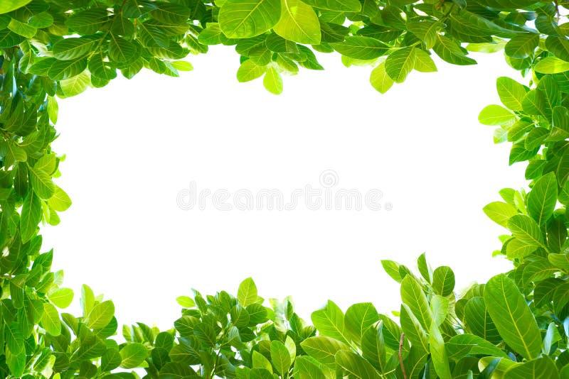 Asiatische tropische grüne Blätter, die auf einem weißen Hintergrund lokalisierten lizenzfreie stockfotografie