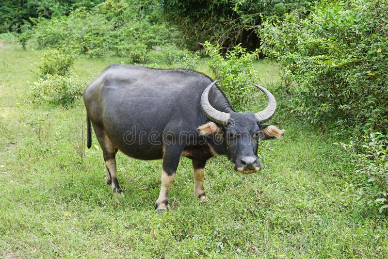 Asiatische Wasser Büffel oder Bubalus bubalis lizenzfreies stockbild