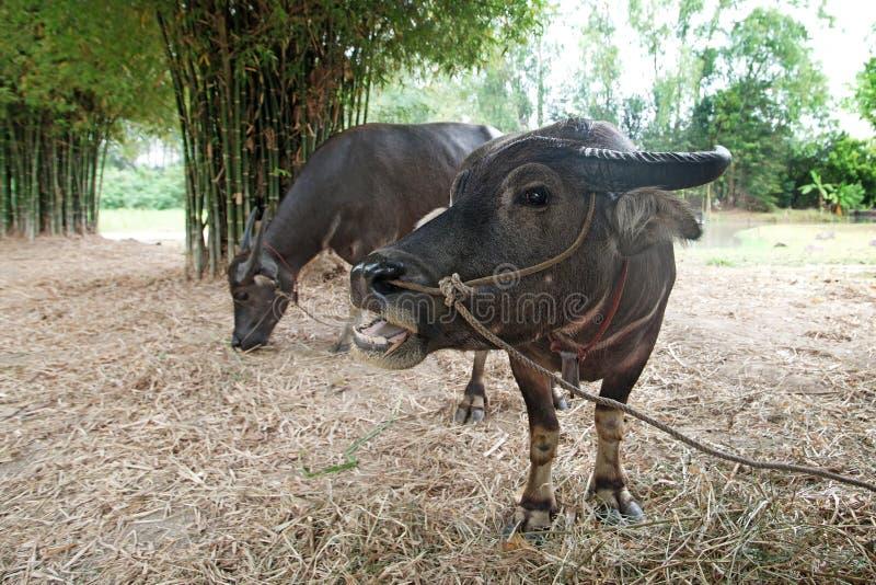 Asiatische Wasser Büffel oder Bubalus bubalis stockfotos