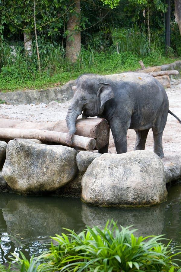 Asiatischer Elefant, der mit einem Protokoll spielt stockbilder