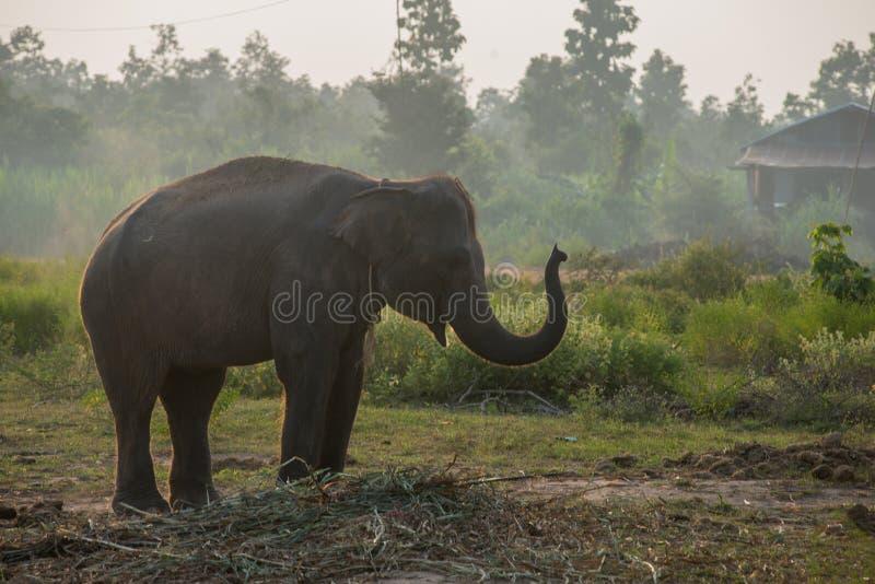 Asiatischer Elefant im Wald, surin, Thailand lizenzfreie stockfotos