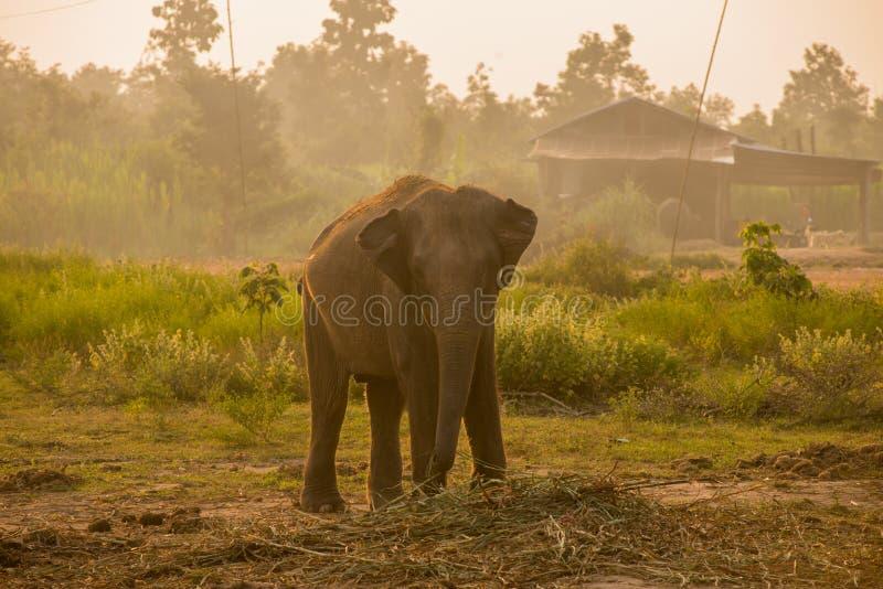 Asiatischer Elefant im Wald, surin, Thailand stockfoto