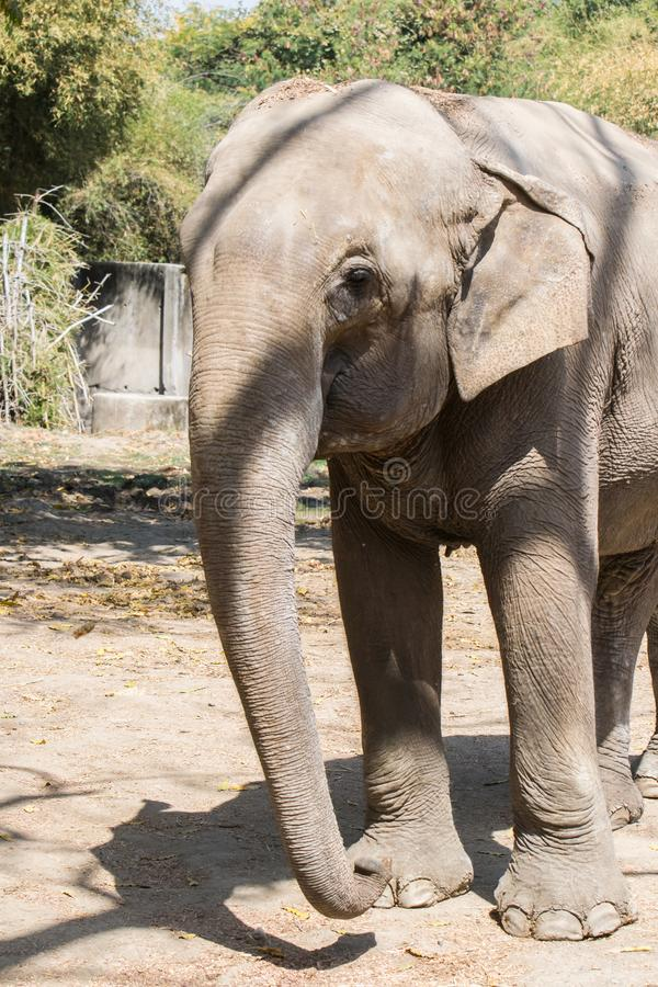 Asiatischer Elefant Nahaufnahme Front Profile lizenzfreie stockbilder