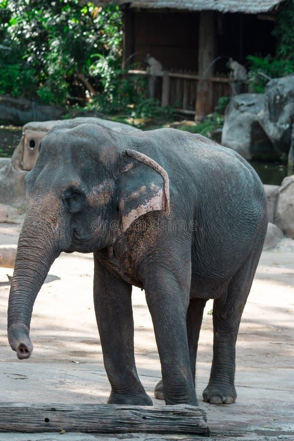Asiatischer Elefant oder asiatischer Elefant in einem Zoo in Singapur stockfotografie