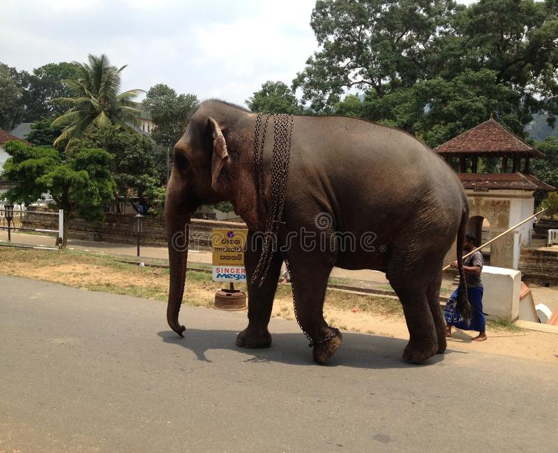 Asiatischer Elefant Sri Lanka in Kandy lizenzfreies stockbild