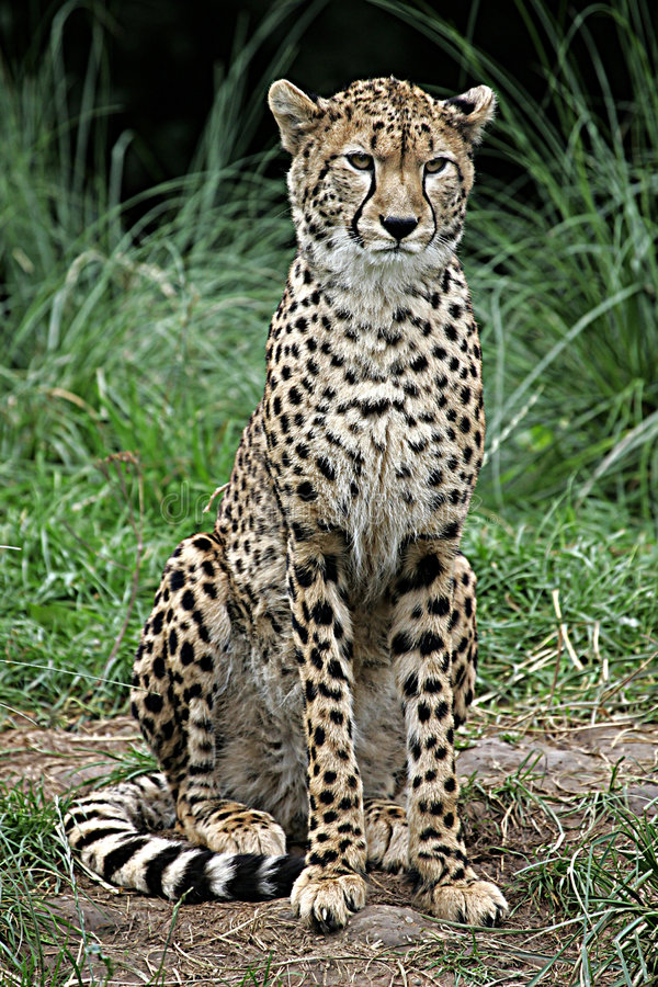 Asiatischer Gepard lizenzfreie stockfotos