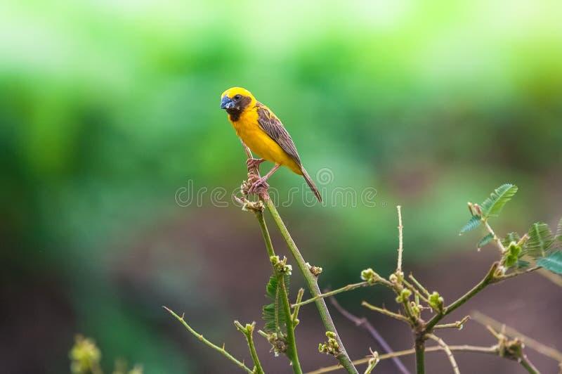 Asiatischer Goldweber, kleiner Vogel auf Spitzenblatt stockbild