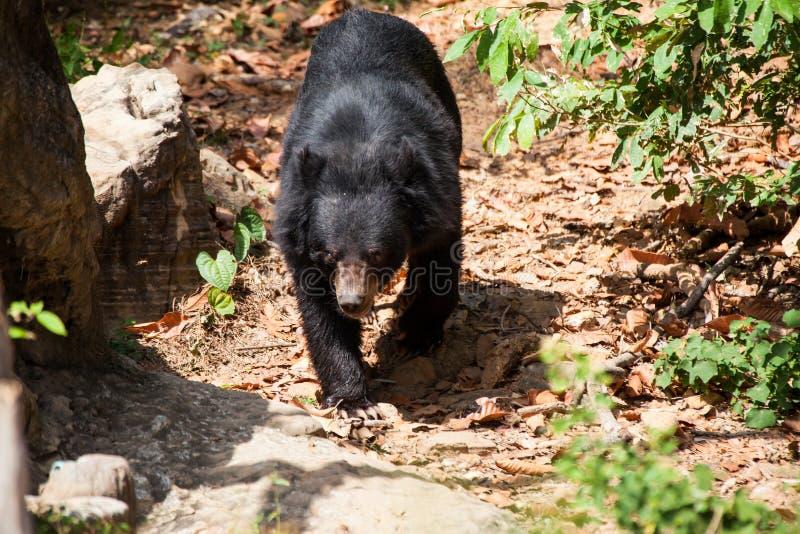 Asiatischer großer schwarzer Bär stockfotos