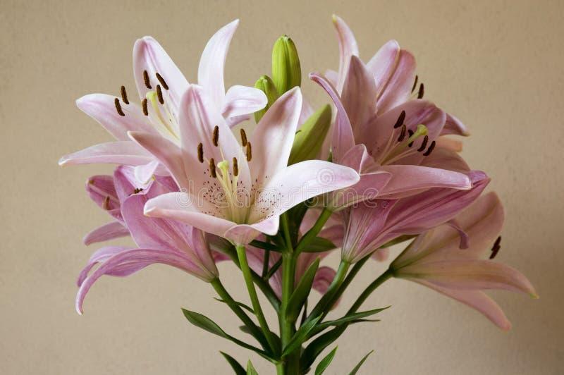 Asiatischer Kreuzunglilium in der Blüte, hellrosa Köpfchen lizenzfreies stockfoto