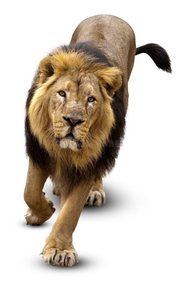 Asiatischer Löwe, Pantera Löwe persica stockbild