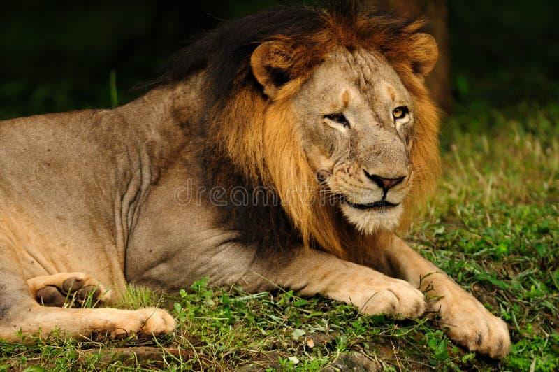 Gähnender Asiatischer Löwe, Der Reißzähne Zeigt Stockbild