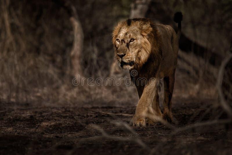 Asiatischer Löwemann im Naturlebensraum in Nationalpark Gir in Indien lizenzfreie stockfotos