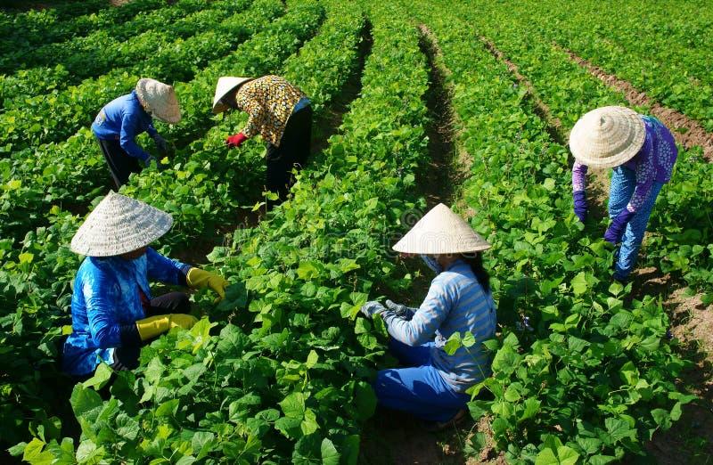 Asiatischer Landwirt, der an Landwirtschaftsfeld arbeitet lizenzfreie stockbilder