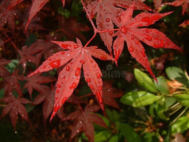 Asiatischer Roter Blatt-ahornbaum Stockbilder
