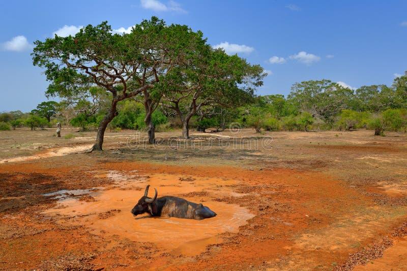Asiatischer Wasserbüffel, Bubalus bubalis, im orange Wasserteich Szene der wild lebenden Tiere, Sommertag mit blauem Himmel Große lizenzfreies stockbild