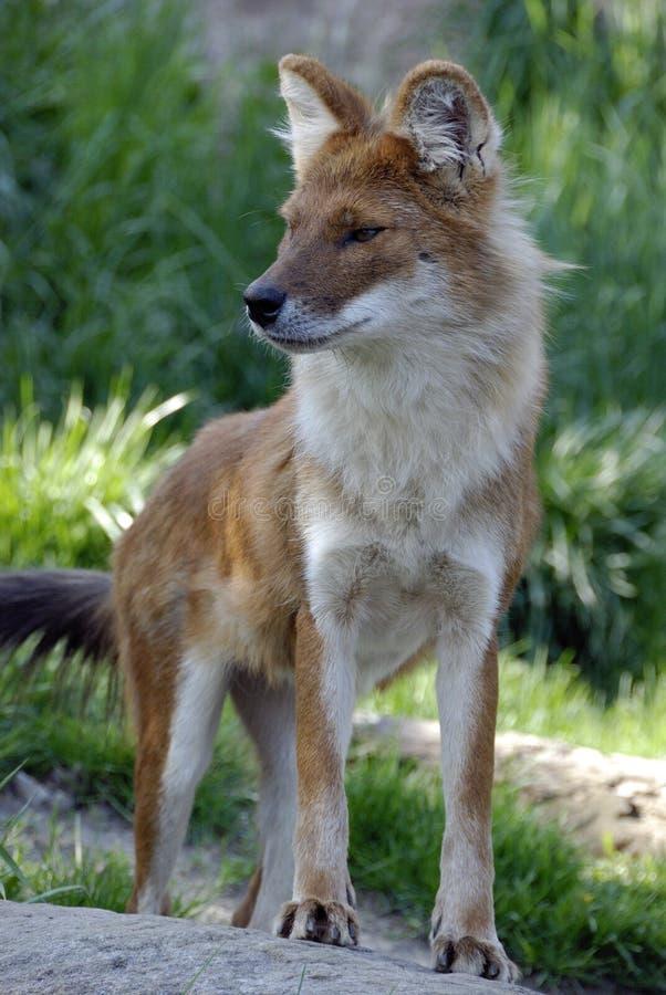 Asiatischer wilder Hund lizenzfreies stockbild
