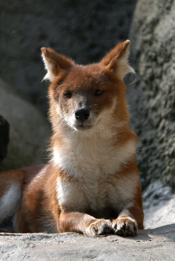 Asiatischer wilder Hund lizenzfreie stockbilder