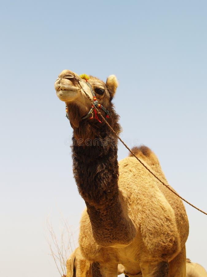 Asiatisches Kamel stockbild
