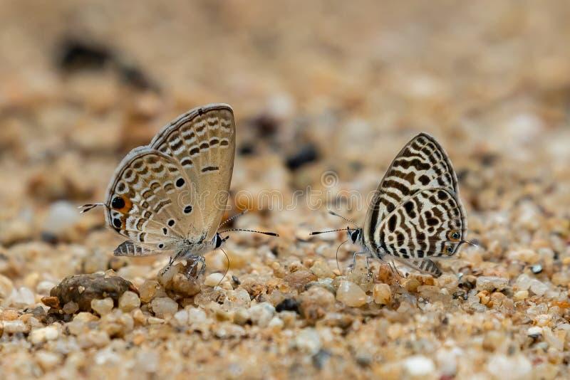 Asiatisches Zebra-Blau und Ebenen-Amorschmetterlinge, die heraus Proboscis haften, um Wasser vom nass Sand zu zeichnen lizenzfreie stockbilder