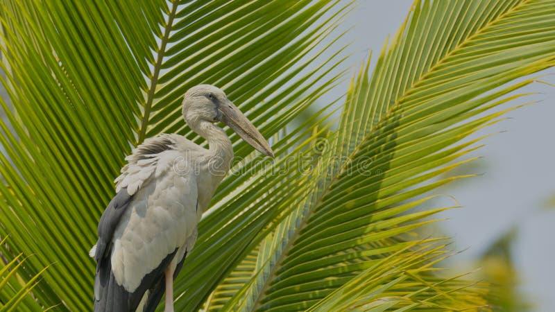 Asiatisk öppen räkningstork på en kokospalm fotografering för bildbyråer