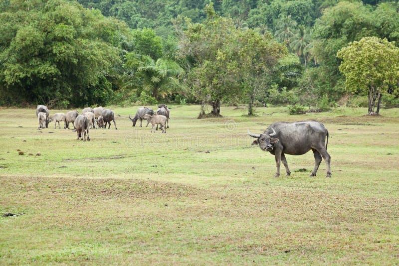 asiatisk buffel royaltyfri fotografi