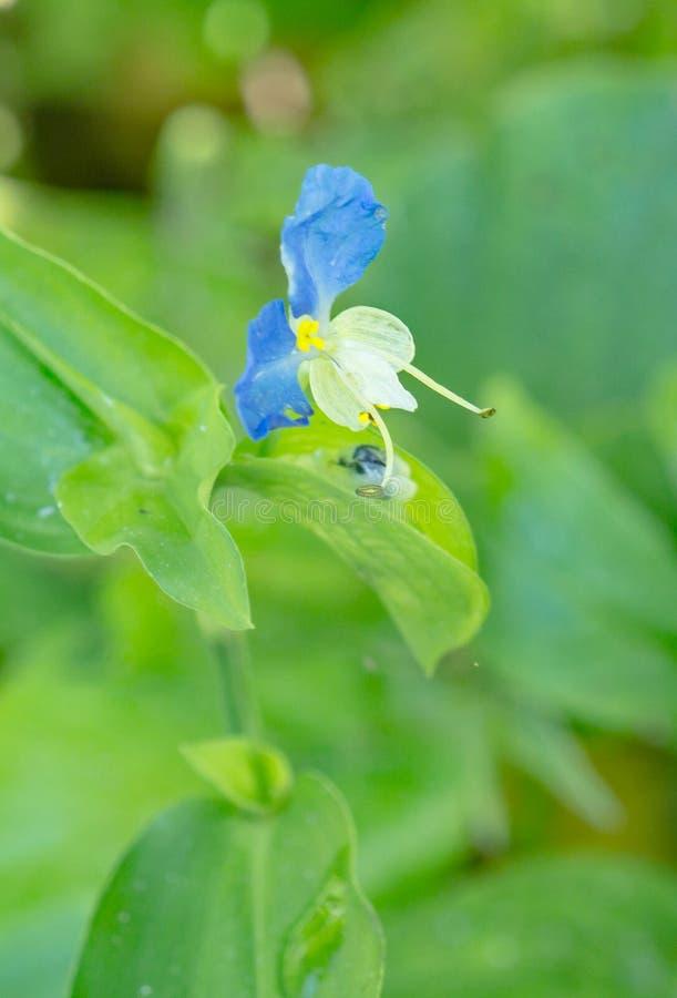"""Asiatisk Dayflower†""""communis Commelina royaltyfria bilder"""