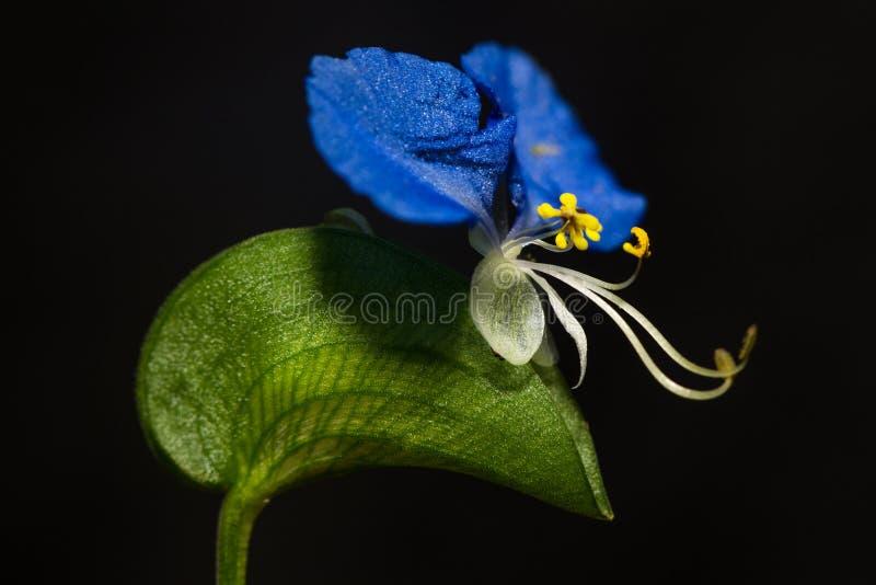 Asiatisk Dayflower royaltyfri foto