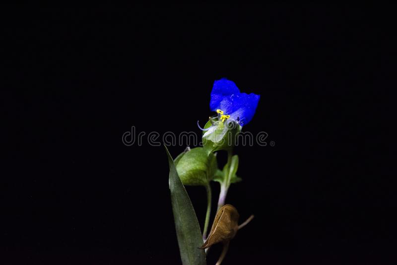 Asiatisk dayflower på svart bakgrund, rengöringsdukbaner eller websiten med trädgårdbegrepp arkivfoton