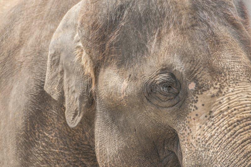 Asiatisk elefant arkivbild