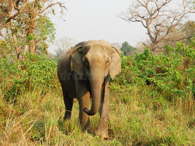 Asiatisk elefant i den Chitwan nationalparken. arkivfoton