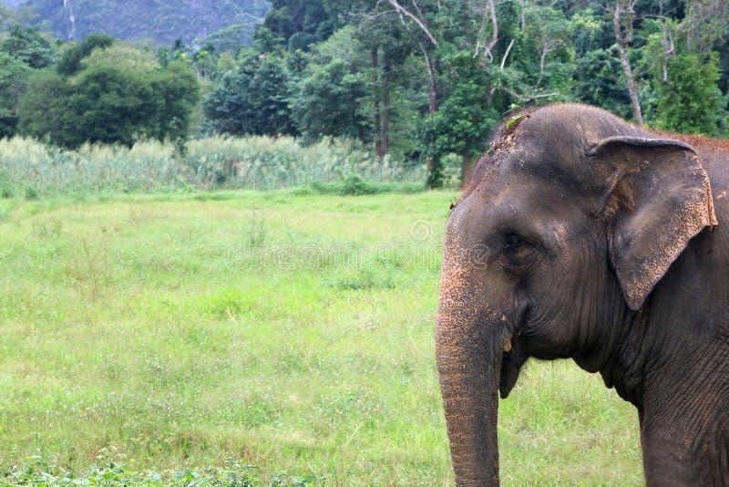 Asiatisk elefant i det löst med skog- och bergbakgrund royaltyfri bild