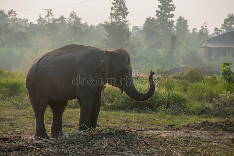 Asiatisk elefant i skogen, surin, Thailand royaltyfri fotografi