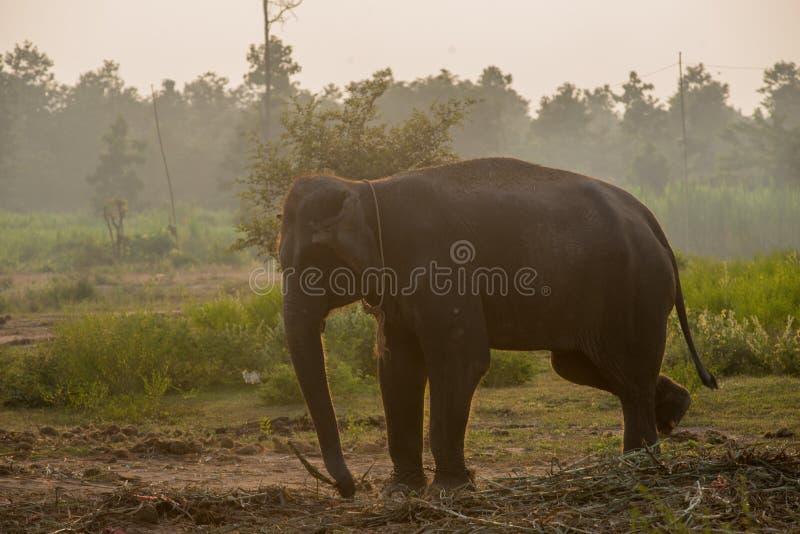 Asiatisk elefant i skogen, surin, Thailand royaltyfria bilder