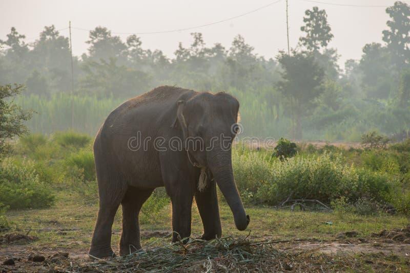 Asiatisk elefant i skogen, surin, Thailand arkivbild