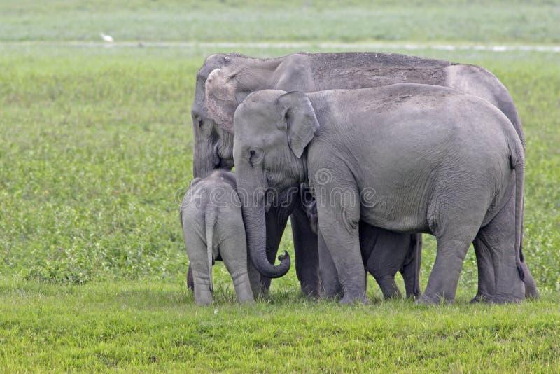 Asiatisk elefantfamilj som går ner en bana royaltyfria foton