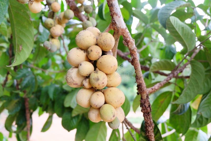 Asiatisk frukt: Lang-suttet royaltyfri bild