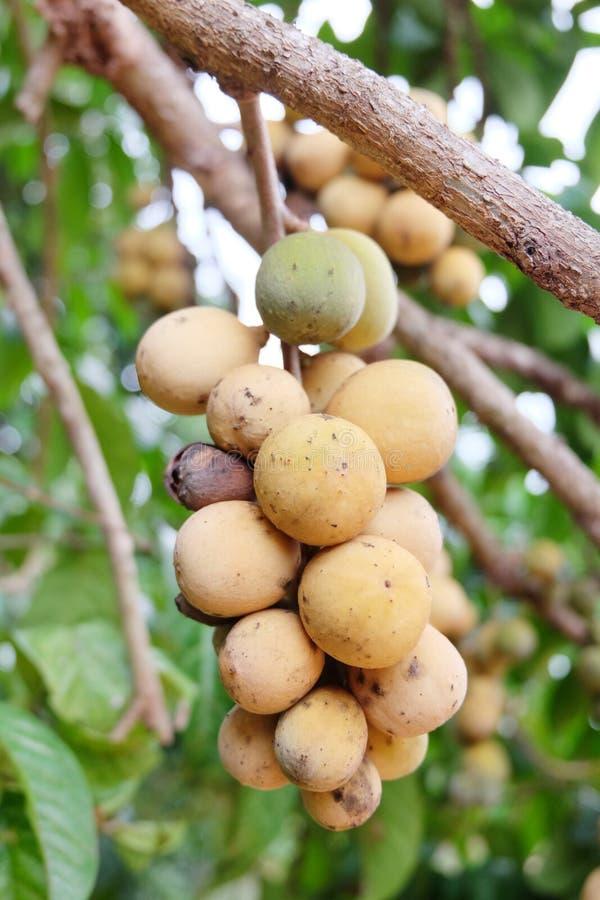 Asiatisk frukt: Lang-suttet royaltyfria bilder