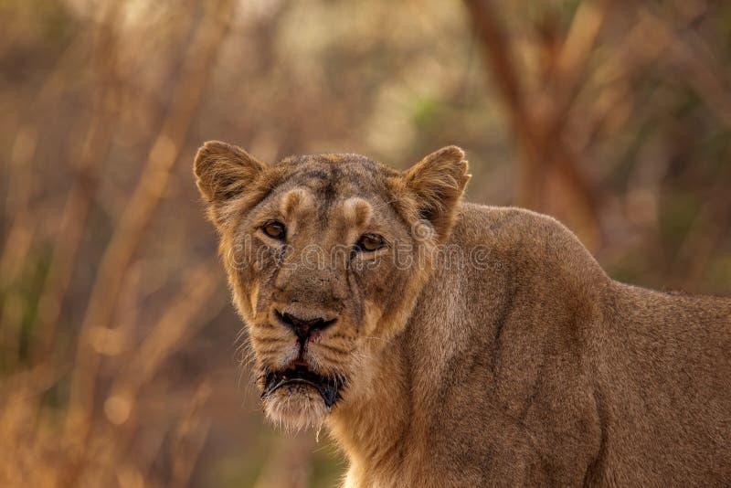 Asiatisk lejonkvinnlig royaltyfri bild