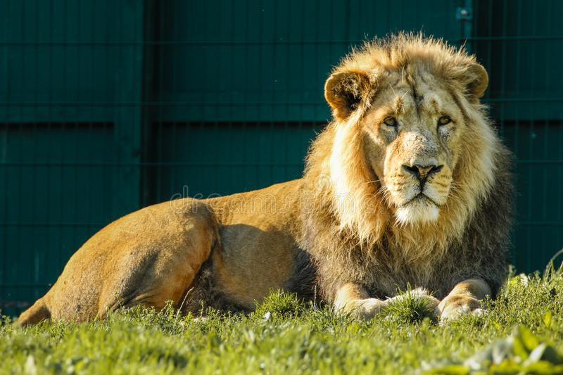 asiatisk lion Dublin zoo ireland royaltyfria bilder