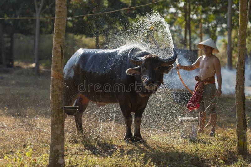 Asiatisk lokal bonde som badar buffeln arkivfoton