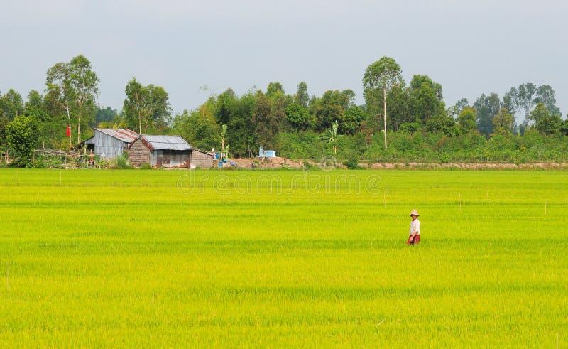 Asiatisk man som passerar risfältet i Dong Thap fotografering för bildbyråer