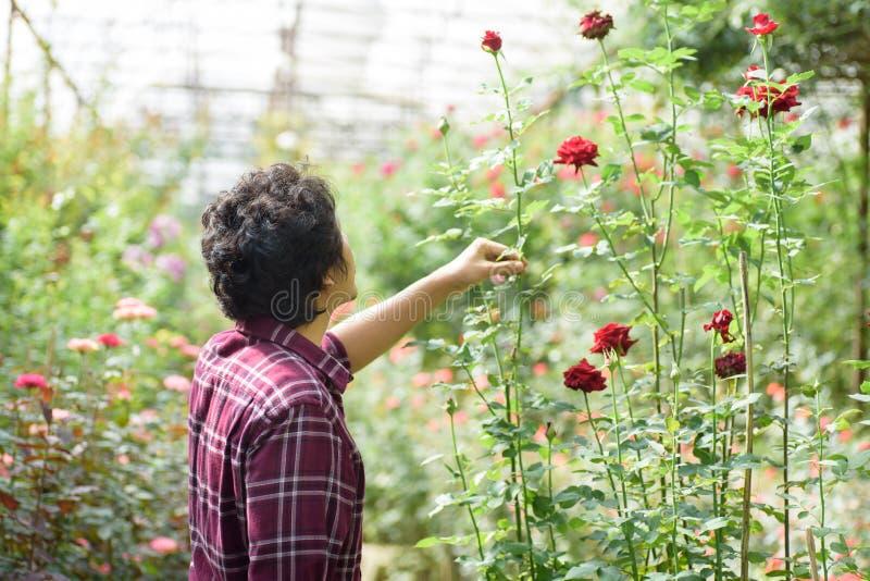 Asiatisk manträdgårdsmästare som rymmer den röda rosblomman fotografering för bildbyråer